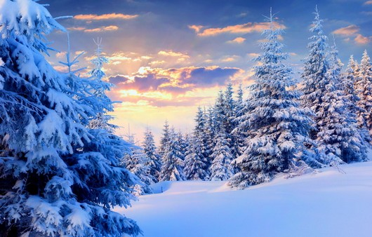 Высокие ели зимой