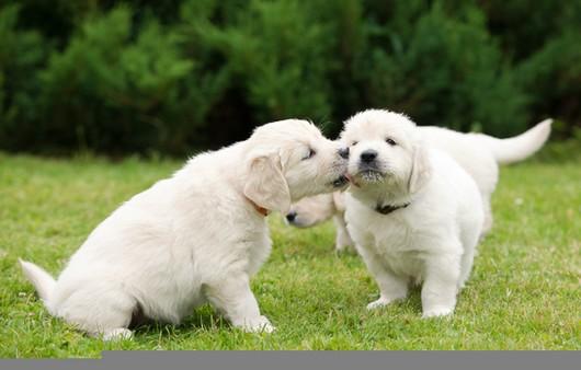 Фотообои Игра щенков