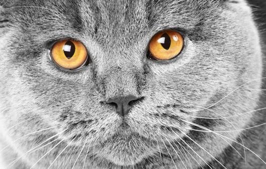 Рыжий взгляд серого кота