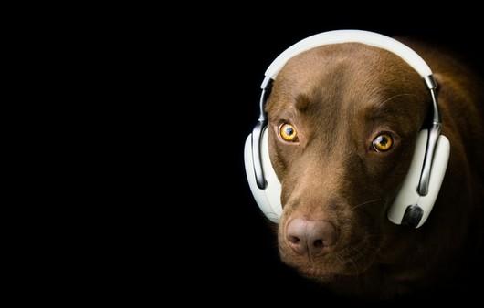 Взгляд собаки в наушниках