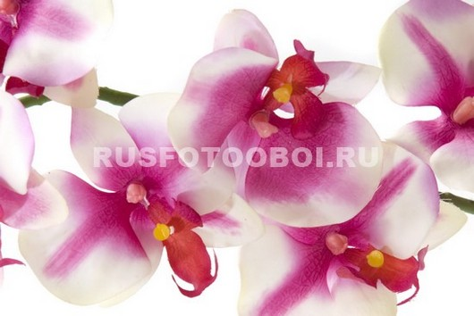 Необычная орхидея