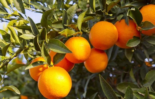 Фотообои oranges fruits