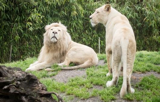 Белые львы на траве