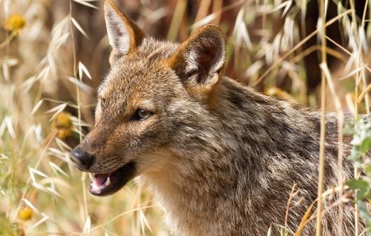 Африканский волк шакал
