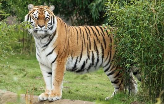 Фотообои Амурский тигр