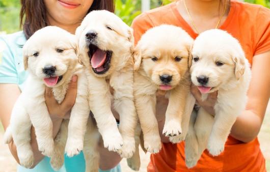 Много щенков