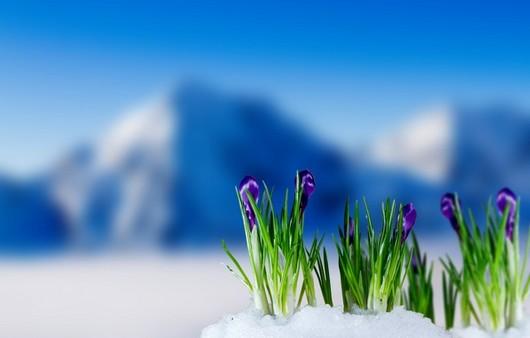 тюльпаны на фоне гор
