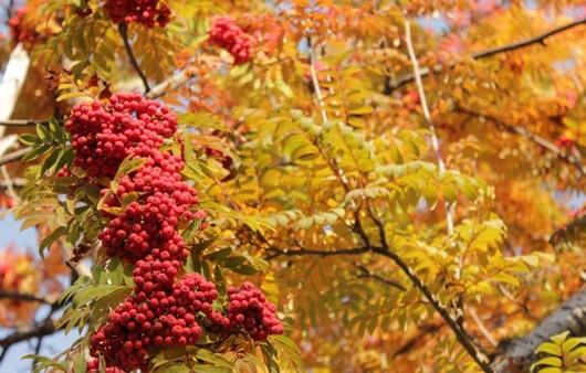 Красные листья рябины
