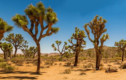 Фотообои Деревья Джошуа в пустыне США