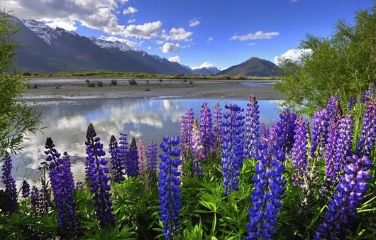 Цветущий люпин на берегах Новозеландского озера