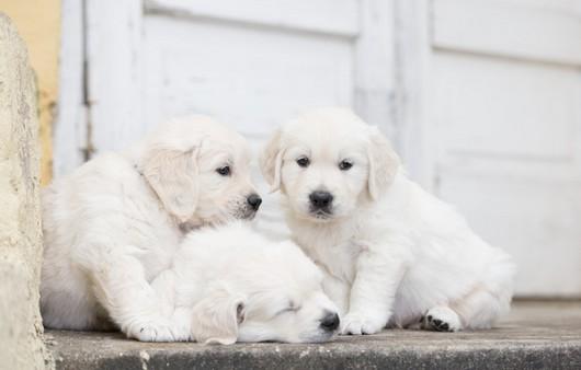 Трио белых щенков
