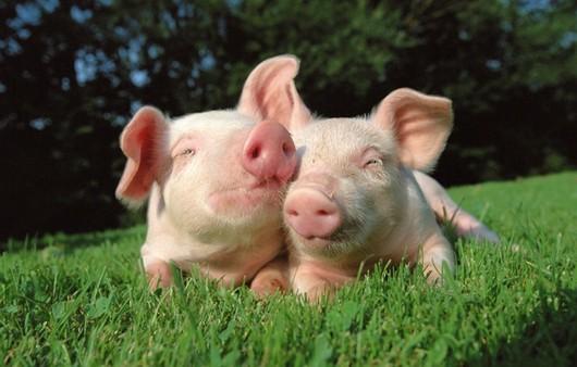 Влюблённые свиньи