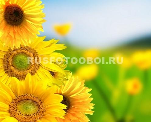 Подсолнухи летом