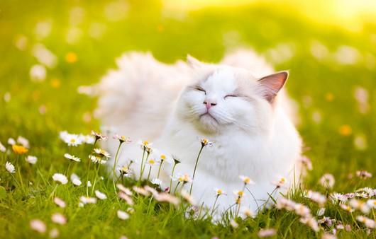 Белая кошка в белых ромашках