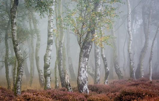 Фотообои Берёзовая роща в тумане