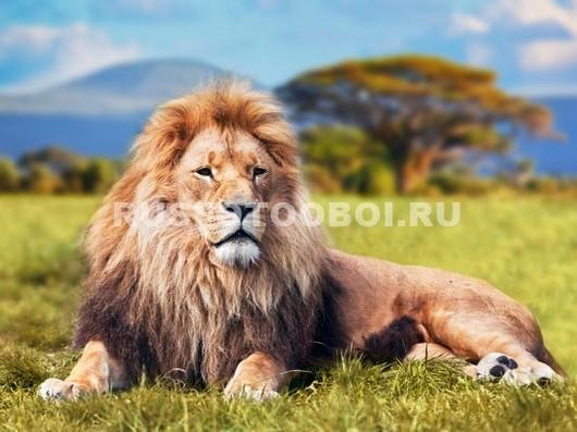 Фотообои Лев царь зверей