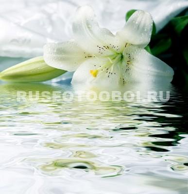 Белая лилия в воде