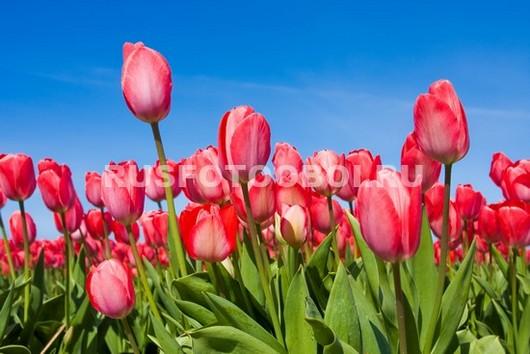 Бело-красные тюльпаны
