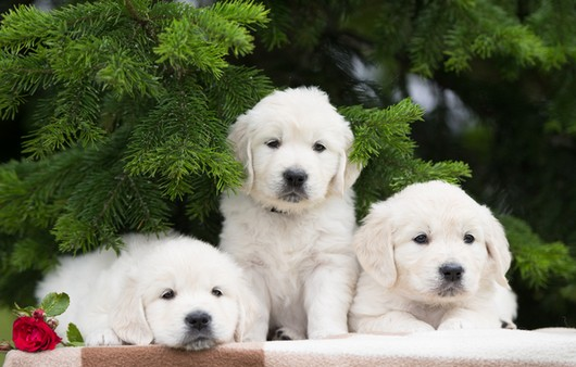 Три белых щенка