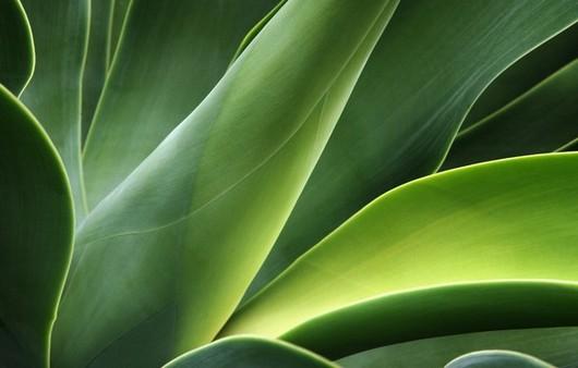 Листья тюльпанов с изгибами