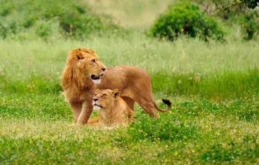 львиная семья