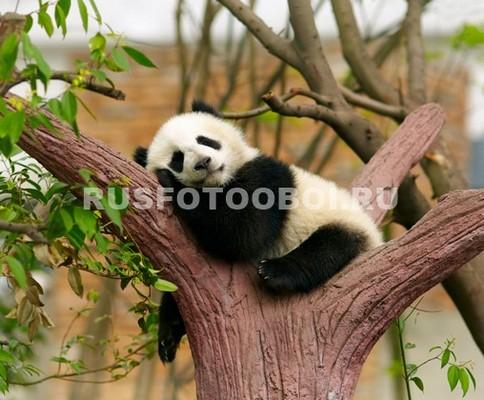 Фотообои Панда