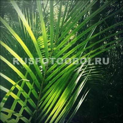 Ветка пальмы