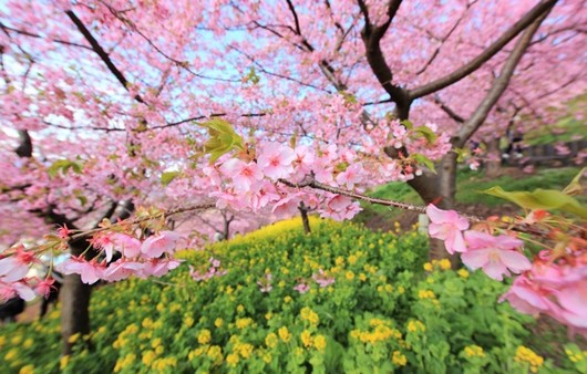 ветки сакуры в Японии