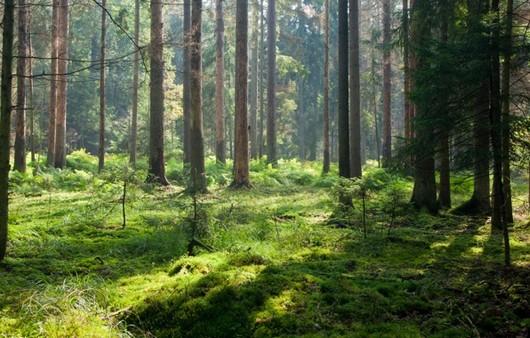 солнечный свет в лесу