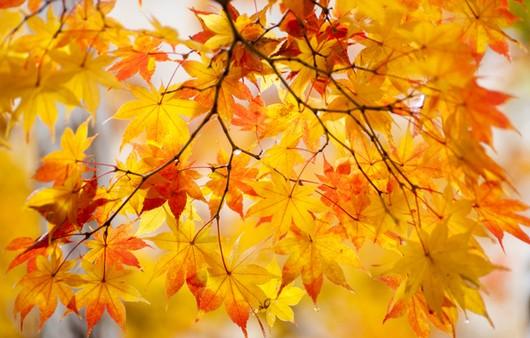 кленовый листья осеню
