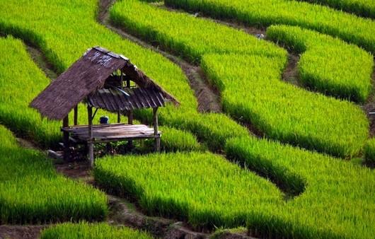 поля с рисом