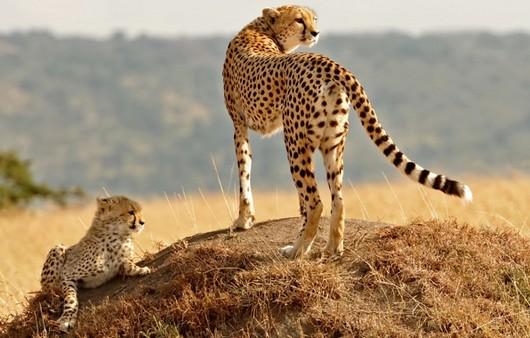 Фотообои Гепард и её детеныш