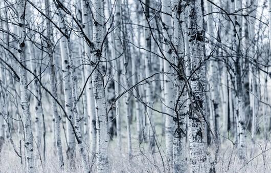 Фотообои Деревья в зимнем лесу