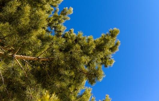 Фотообои Ель на фоне голубого неба