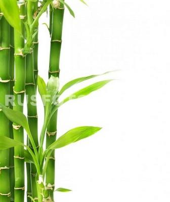 Бамбук на белом фоне