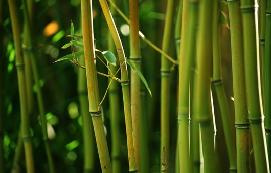 Фотообои Бамбуковые стебли