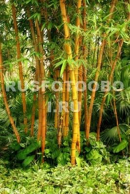Бамбук на острове