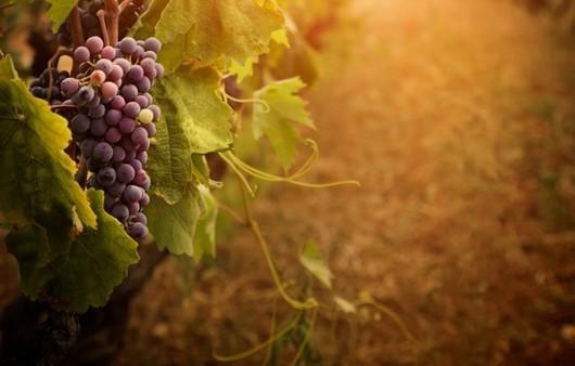 Фотообои Виноградная лоза в макросъемке