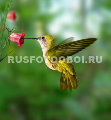 Колибри около цветка