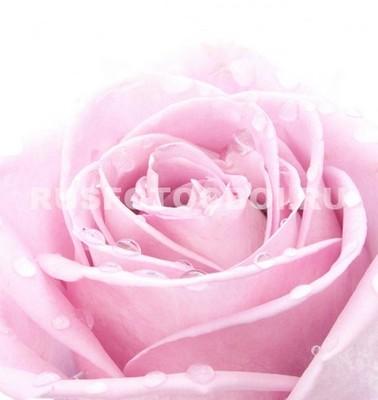Роса на лепестках розы