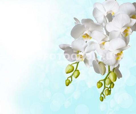Фотообои Орхидея  с бутонами