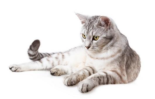 Уставший серый кот