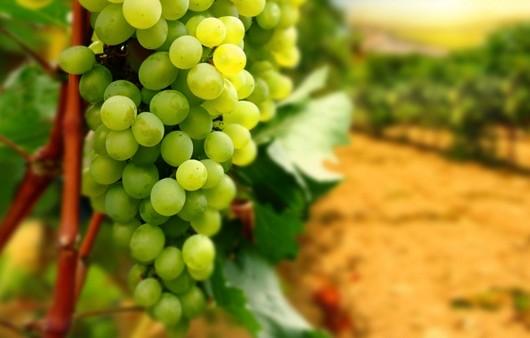 Фотообои Виноградные лозы