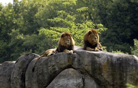 Львы на скалах