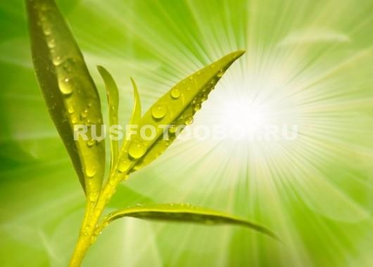 Фотообои Чайный лист