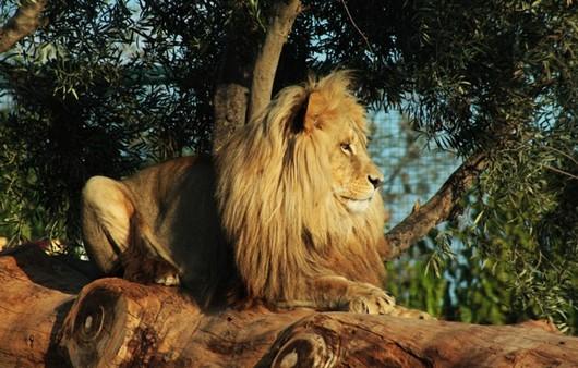Лев с пышной гривой