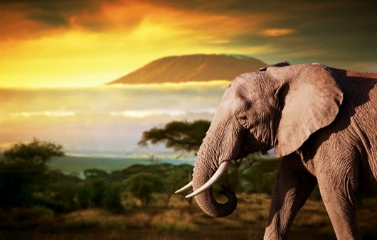 Слон на фоне заката