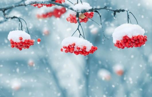 Рябина присыпанная снегом