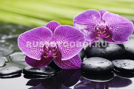 Розовая орхидея с прожилками и галькой