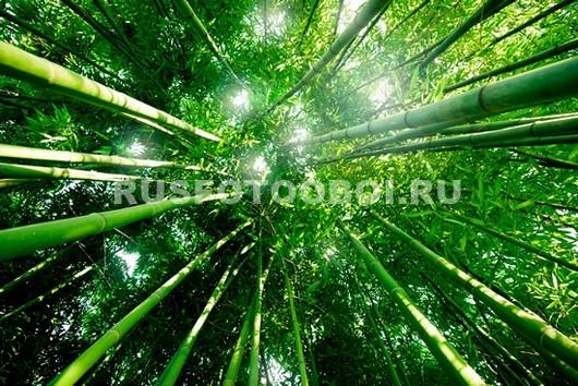 Бамбук тянется к небу